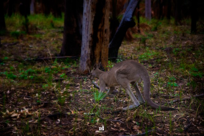 Skippy, having his breakfast just meters from the start of our hiking trail from the Visitors Carpark.